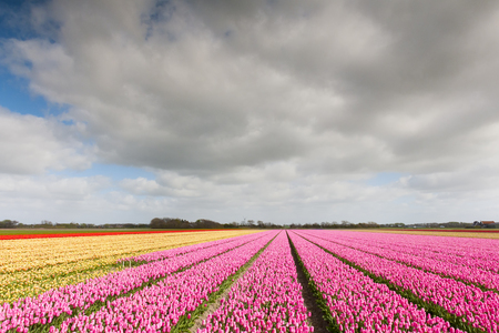 european ethnicity: Tulip field with different colors and cloudy sky above, North Holland, the Netherlands. Stock Photo
