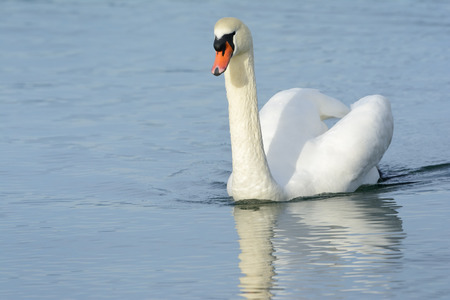 cygnus olor: Mute swan (Cygnus olor) swimming in blue water.
