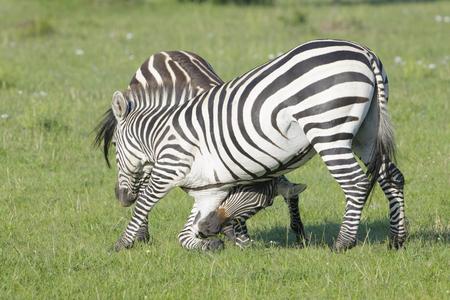 stallions: Two Zebra Equus quagga stallions fighting on savanna, Serengeti National Park, Tanzania Stock Photo