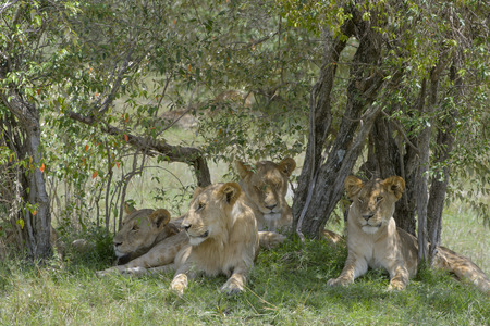 africa tree: Four juvenile lions Panthera leo liyng down in the shade of an acacia tree during daytime, Serengeti national park, Tanzania.