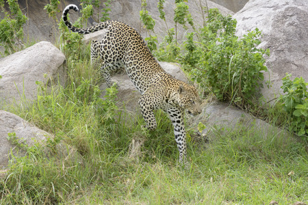 prototypical: Leopard Panthera pardus walking over rock and between grass, close by, Serengeti national park, Tanzania. Stock Photo