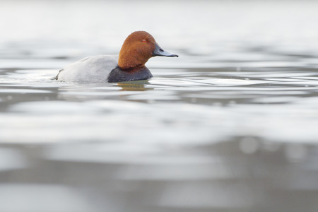 full length mirror: Common pochard (Aythya ferina) swimming in water with reflection. Stock Photo