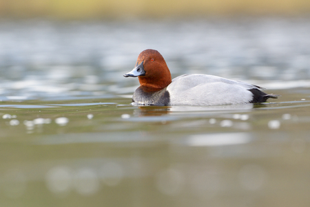Common pochard (Aythya ferina) swimming in water with reflection. Stock Photo
