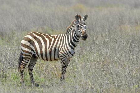 llanura: cebra (Equus quagga) del llano situado en la sabana mirando a la cámara, Parque Nacional de Serengeti, Tanzania.