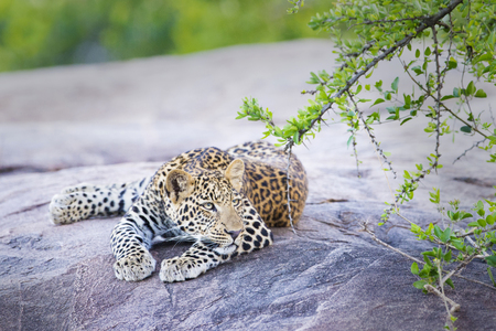 leopard: Leopard (Panthera pardus) resting on a rock under an acacia tree, Serengeti national park, Tanzania.