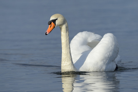 swimming swan: Mute swan (Cygnus olor) swimming in blue water with reflection.