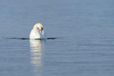 full length mirror: Mute swan (Cygnus olor) swimming in blue water with reflection.