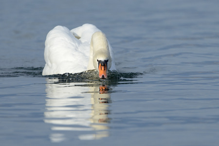 cygnus olor: Mute swan (Cygnus olor) swimming and drining in blue water with reflection. Stock Photo