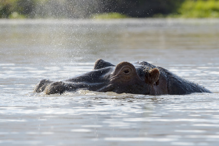 amphibius: Hippopotamus Hippopotamus amphibius breathing at water surface, Ngorongoro Crater, Tanzania. Stock Photo