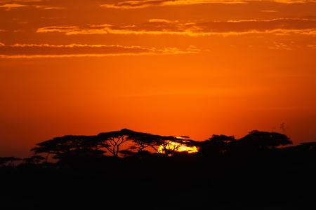 acacia tree: Acacia trees at the African savanna with sunrise, Serengeti national park, Tanzania. Stock Photo