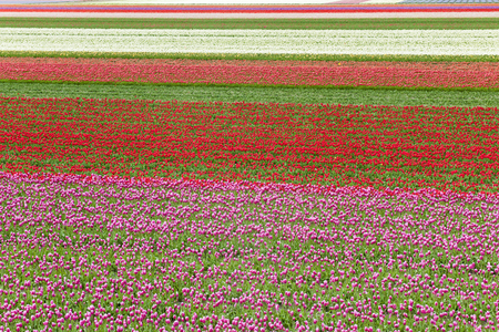 Different colors of tulips in lines in a field, North Holland, The Netherlands. Stock Photo