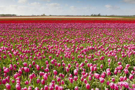 Tulip field with different colors and cloudy sky above, North Holland, the Netherlands. Stock Photo