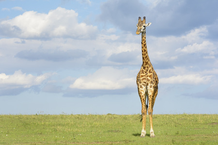 Giraffe (Giraffa camelopardalis) crossing savanna grasslands, with cloudy sky in background, Serengeti National Park, Tanzania.