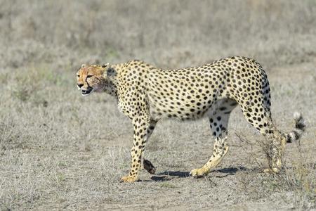 jubatus: Cheetah Acinonyx jubatus walking on savannah, Serengeti national park, Tanzania. Stock Photo