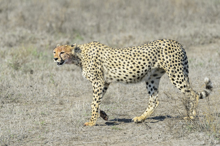 acinonyx: Cheetah Acinonyx jubatus walking on savannah, Serengeti national park, Tanzania. Stock Photo