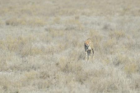 Cheetah Acinonyx jubatus walking on savanna, towards the camera, Serengeti National Park, Tanzania.