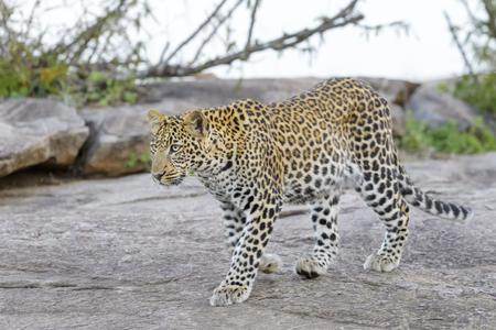 pardus: Leopard Panthera pardus walking on a rock, Serengeti National Park, Tanzania.