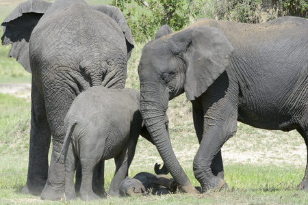 loxodonta africana: African Elephant Loxodonta africana family standing together with a small baby lying in between at a waterhole, Serengeti National Park, Tanzania.