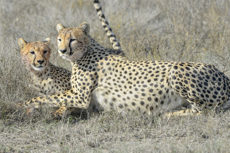 acinonyx: Two Cheetah (Acinonyx jubatus) on savanna, cleaning each other after eating prey, Serengeti national park, Tanzania.