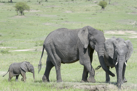 loxodonta: African Elephant (Loxodonta africana) family standing together with a small baby behind at a waterhole, Serengeti national park, Tanzania.