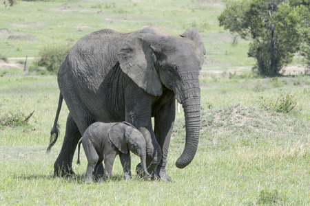 parents with baby: African Elephant (Loxodonta africana) walking on the savanna together with a small baby, Serengeti national park, Tanzania. Stock Photo