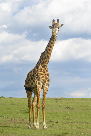 archetypal: Giraffe (Giraffa camelopardalis) crossing savanna grasslands, looking at camera, with cloudy sky in background, Serengeti National Park, Tanzania. Stock Photo