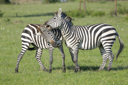 male dominated: Two Zebra (Equus quagga) stallions fighting on savanna, Serengeti National Park, Tanzania Stock Photo