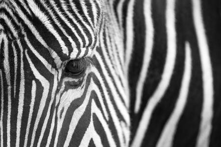 close up: Grevys Zebra (Equus grevyi) portrait, close up, Spain.