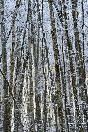 snow covered forest: Snow covered forest in winter with sunrise in background.