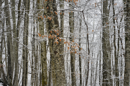 Snow covered forest in winter with autumn leaves in foreground. Stock Photo