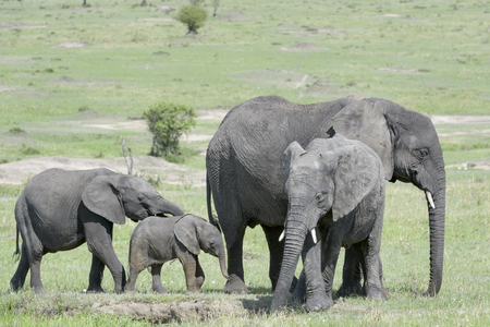loxodonta africana: African Elephant (Loxodonta africana) family standing together with a small baby at a waterhole in the savanna, Serengeti national park, Tanzania.