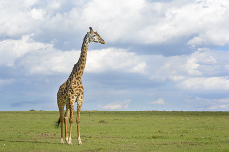 archetypal: Giraffe (Giraffa camelopardalis) crossing savanna grasslands, with cloudy sky in background, Serengeti National Park, Tanzania Stock Photo