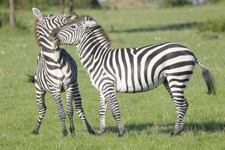 Two Zebra (Equus quagga) stallions fighting on savanna, Serengeti National Park, Tanzania Stock Photo