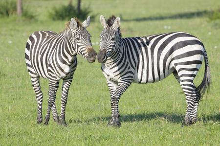 stallions: Two Zebra (Equus quagga) stallions fighting on savanna, Serengeti National Park, Tanzania Stock Photo