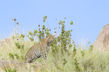 archetypal: Leopard (Panthera pardus) sitting between grass, with blue sky in background, Serengeti national park, Tanzania.
