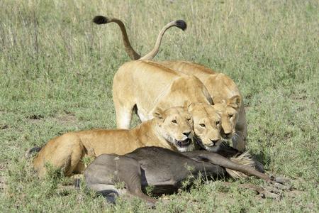 taurinus: Three Lionesses (Panthera leo) with a just caught wildebeest (Connochaetes taurinus), Serengeti national park, Tanzania.
