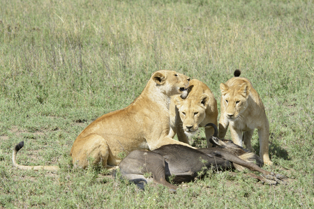 morbidity: Three Lionesses (Panthera leo) with a just caught wildebeest (Connochaetes taurinus), Serengeti national park, Tanzania.