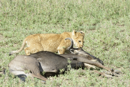 morbidity: Lion cub (Panthera leo) with a just caught wildebeest (Connochaetes taurinus), Serengeti national park, Tanzania.