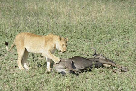 morbidity: Lioness (Panthera leo) standing next to a just caught wildebeest (Connochaetes taurinus), Serengeti national park, Tanzania.
