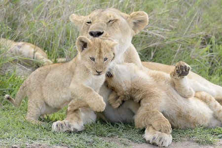 Lion cubs (Panthera leo) playing with mother on the savanna, Serengeti national park, Tanzania.