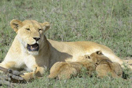 panthera leo: Lion cubs (Panthera leo) drinking from mother on the savanna, Serengeti national park, Tanzania. Stock Photo