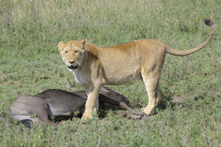 morbidity: Lioness (Panthera leo) standing next to a just caught wildebeest (Connochaetes taurinus), Serengeti national park, Tanzania.