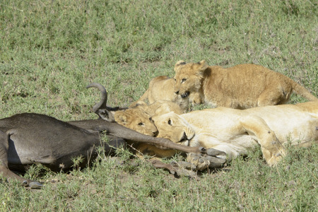 morbidity: Lioness (Panthera leo) bringing cubs to a just caught wildebeest (Connochaetes taurinus), Serengeti national park, Tanzania.