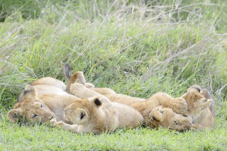 panthera leo: Lion cubs (Panthera leo) playing on the savanna, Serengeti national park, Tanzania.