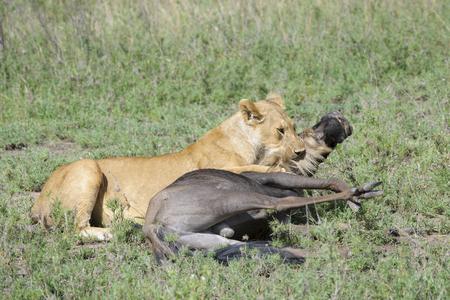 taurinus: Lioness (Panthera leo) killing a just caught wildebeest (Connochaetes taurinus), Serengeti national park, Tanzania.