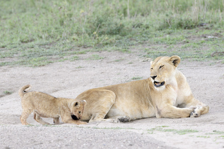 Lion cub (Panthera leo) playing with tail from mother, Serengeti national park, Tanzania.