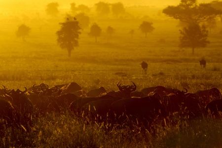 taurinus: Wildebeests (Connochaetes taurinus) herd grazing during migration at sunrise, Serengeti national park, Tanzania. Stock Photo