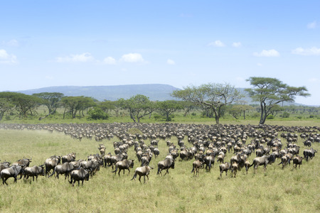 prototypical: Herd of Blue Wildebeest ( Connochaetus taurinus) seen from behind, during migration, Serengeti national park, Tanzania.
