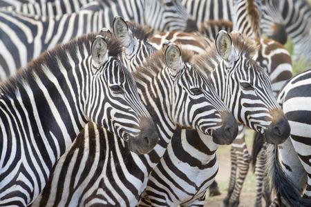 on the move: Portrait of three plains zebra (Equus burchellii) in herd, Serengeti national park, Tanzania.