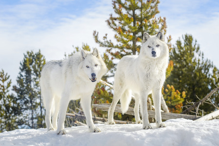 Two gray timber wolf (Canis lupus), walking in snow.
